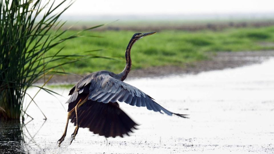 A Purple heron at Mangalajodi wetland. Being part of Chilika lake, it is just 70 Kilometres from the Odisha state capital of Bhubaneswar. Conservation efforts by local community in the last few years have yielded good results, with new species such as Eurasian Spoonbill, Pelicans, Pratincoles, Spot billed ducks and Glossy Ibis being recorded as regular visitors. This year a pair of bar headed geese are new guests to this marshland. (Arabinda Mohapatra)