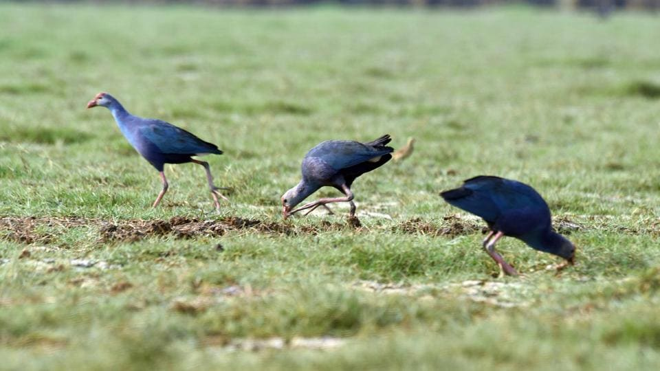 A clutch of Grey-headed swamphens (Also called the Purple swamphen). (Arabinda Mohapatra)