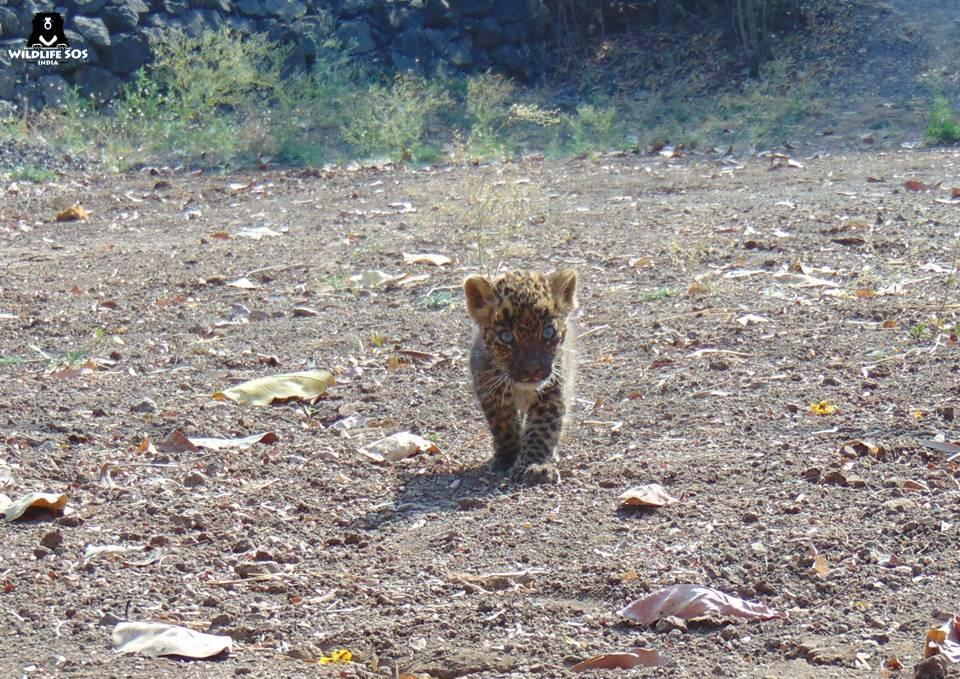 The cub was sent to Manikdoh Leopard Rescue Centre, Junnar.