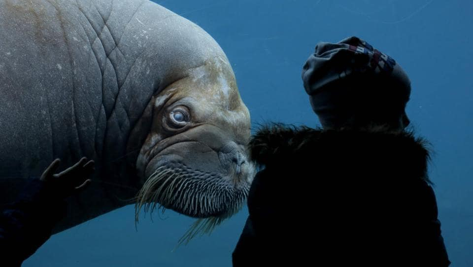 A visitor looks at a walrus (Odobenus rosmarus) on March 6, 2017 in a zoo Hamburg. (Axel Heimken / AFP)