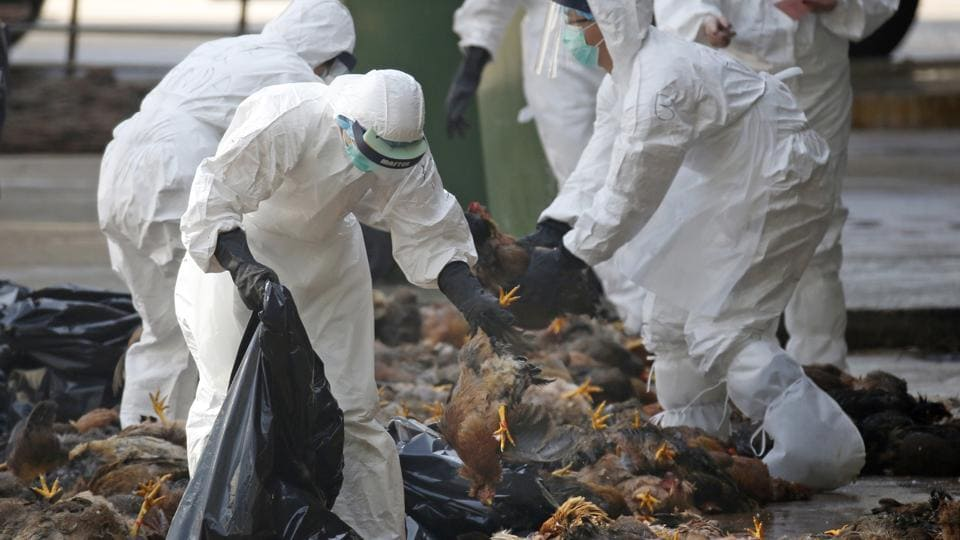 Health workers in full protective gear collect dead chickens after a culling operation.