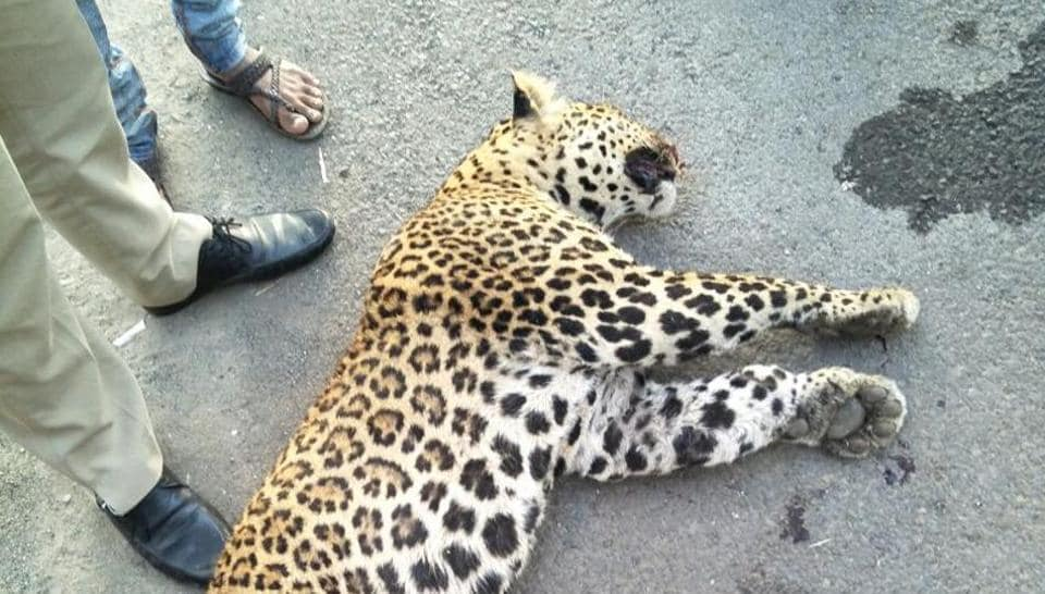 The leopard that was run over on the Mumbai-Pune expressway on Saturday.