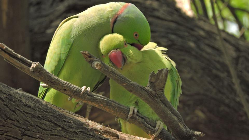 In pictures indian flowers of spring india news photos parakeets enjoy the spring season at lodhi garden anmol wahiht photo mightylinksfo