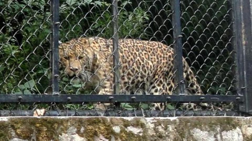 A third leopard, who was injured and could not run fast, had also escaped but was captured while two others ran into the forests.