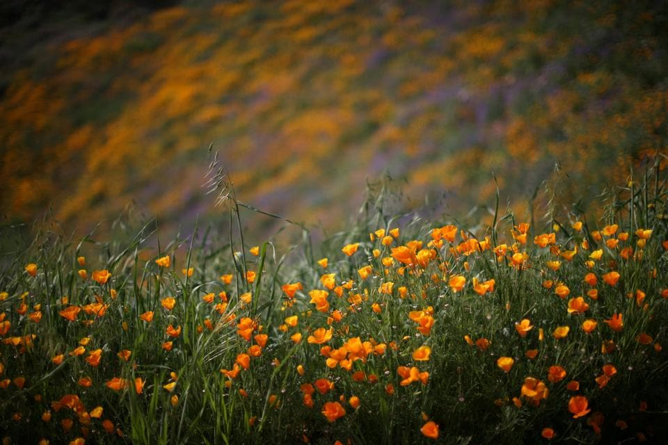 Southern California's deserts and hillsides are ablaze with colour after a wet winter spurred what scientists say is the biggest wildflower bloom in years. (Lucy Nicholson / REUTERS)