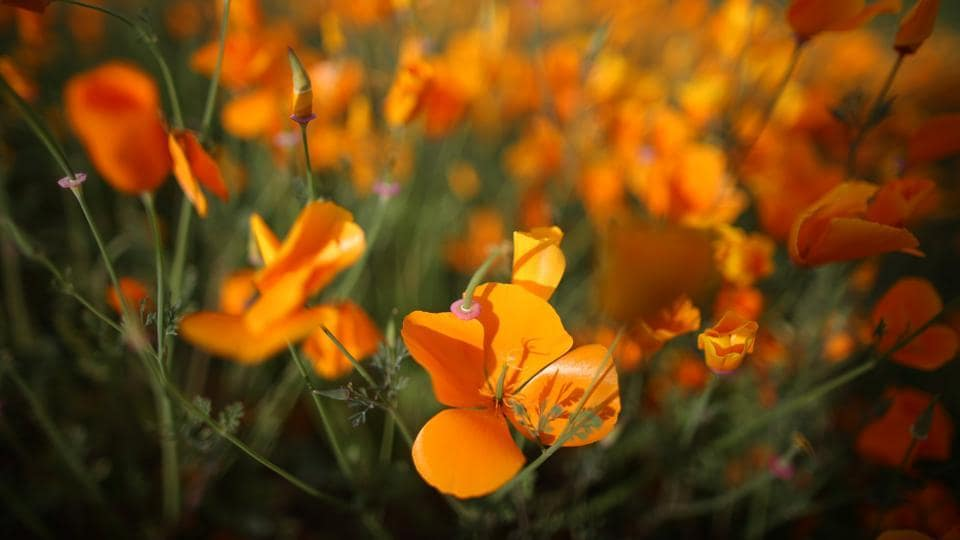 Wildflowers are starting to bloom in Southern California because of the heavy rain season. (Lucy Nicholson / REUTERS)