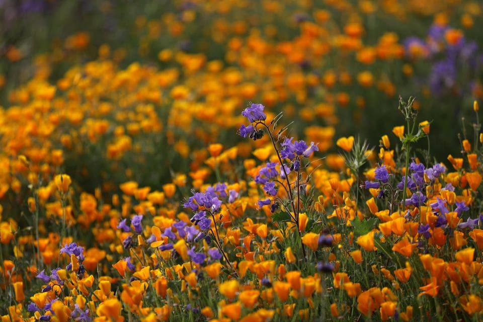 The flush of green and the burst of orange poppies on hillsides are teasing wildflower enthusiasts to visit Lake Elsinore.  (Lucy Nicholson / REUTERS)