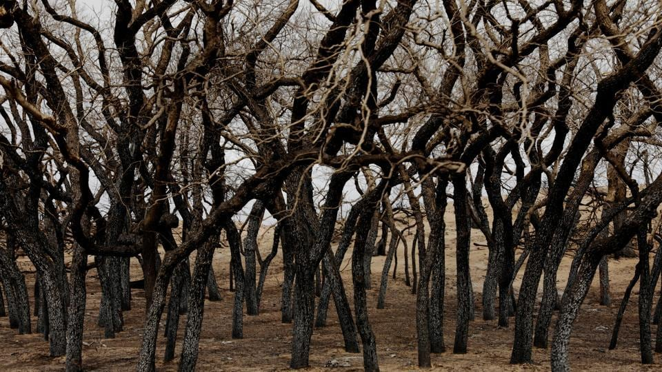 Scorched trees stand above pasture burned by wildfires near Higgins, Texas. (REUTERS)