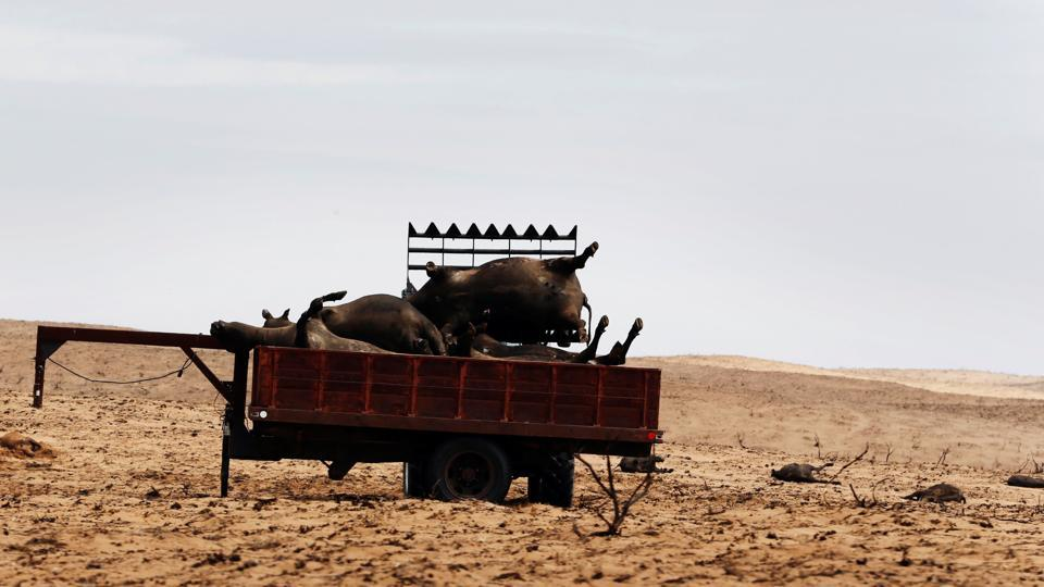 A rancher uses a tractor to load cattle killed by wildfires into a trailer for disposal near Higgins, Texas, U.S. (Lucas Jackson  / REUTERS)
