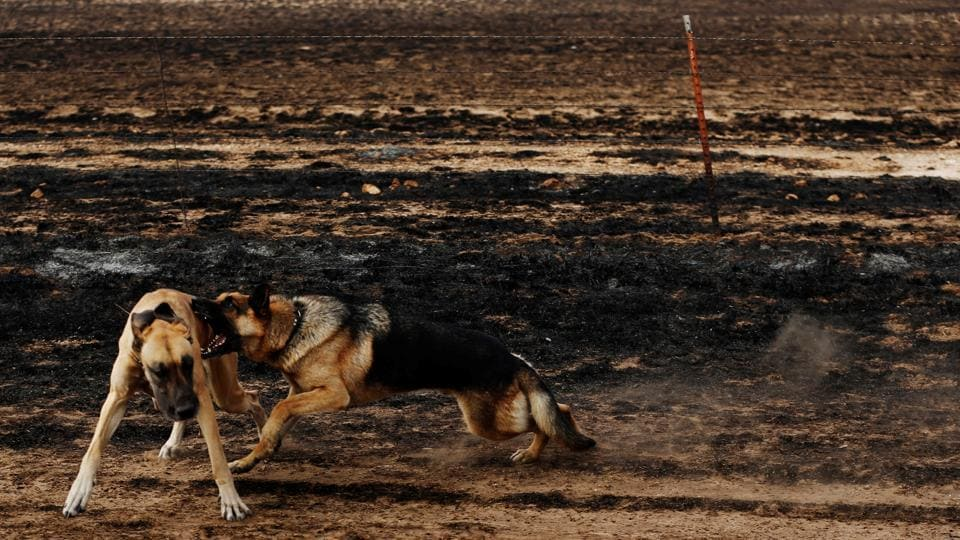 Dogs owned by rancher Nancy Schwerzenbach play in pasture burned by wildfires near Lipscomb, Texas, U.S. (Lucas Jackson  / REUTERS)