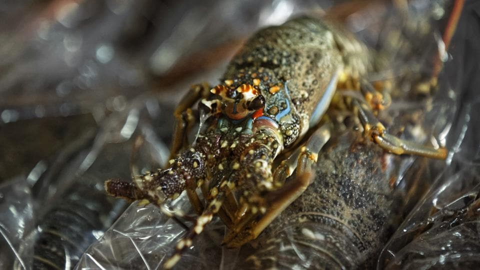 Lobsters are packed for export. The hijacked oil tanker was anchored Tuesday off the town of Alula, local elder Salad Nur told The Associated Press. He said young fishermen, including former pirates, had gone searching for a foreign ship to seize out of frustration. (Ben Curtis/AP)
