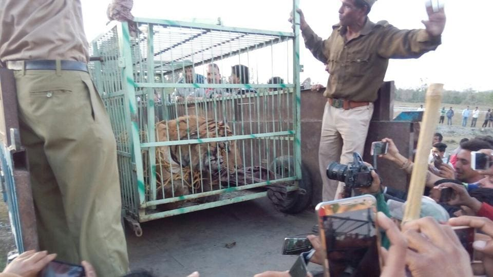 The tiger that killed two persons close to the Corbett reserve was caged after being tranquillised.