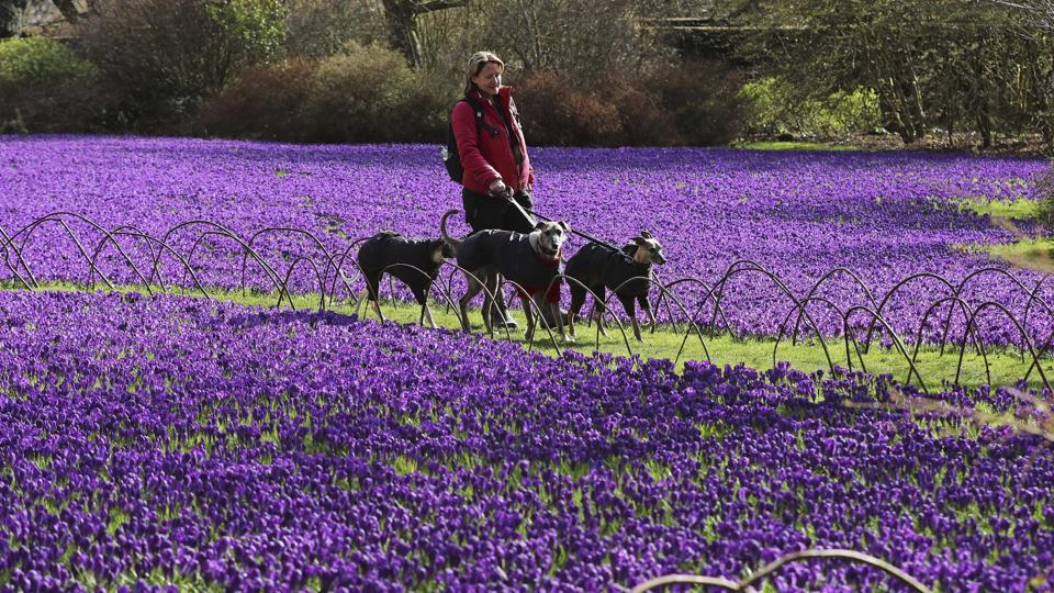 A woman walks her dogs through a colourful carpet of over 100,000 crocuses at Wallington Hall near Morpeth in northeastern England.  (Owen Humphreys / AP)