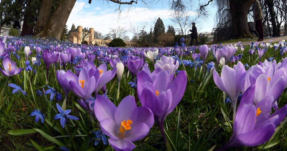 Purple and white crocuses blooming at the Botanical Garden in Karlsruhe. (AFP)