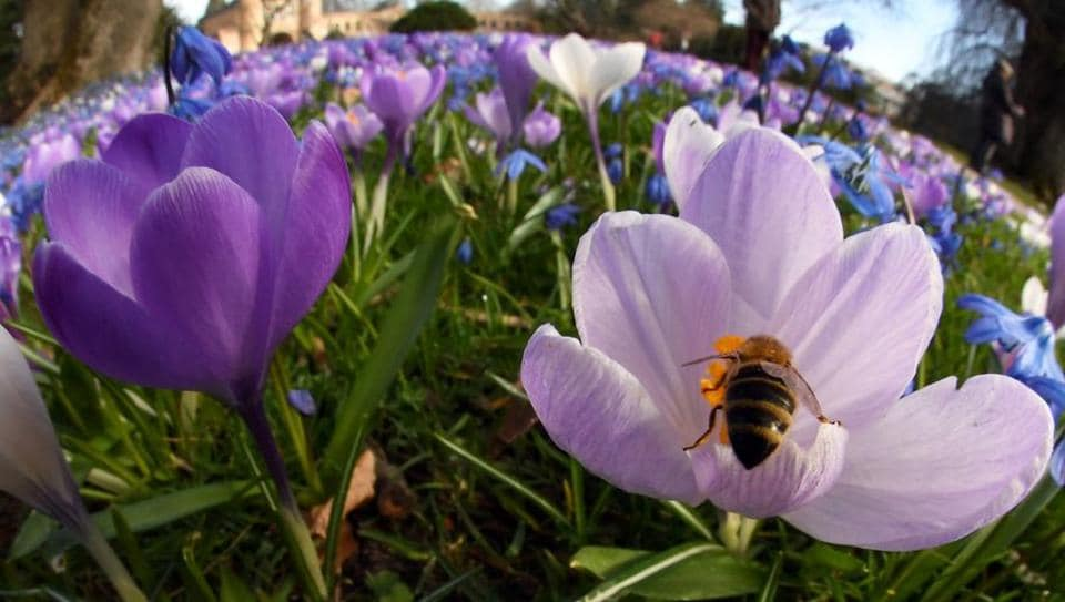 With a fisheye lens shows a bee collecting pollen from blooming crocuses at the Botanical Garden in Karlsruhe, southern Germany.  Most crocuses also have very bright stigma, often orange or red, which is very much part of their display.  (Uli Deck / AFP)