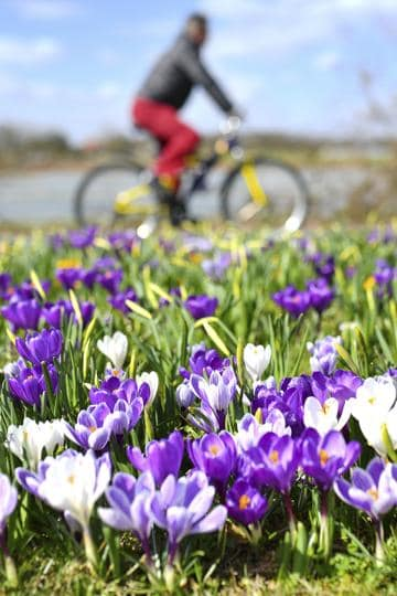 A man rides his bicycle near a meadow with crocuses in Dossenheim, near Heidelberg, Germany. (Uwe Anspach / AP)