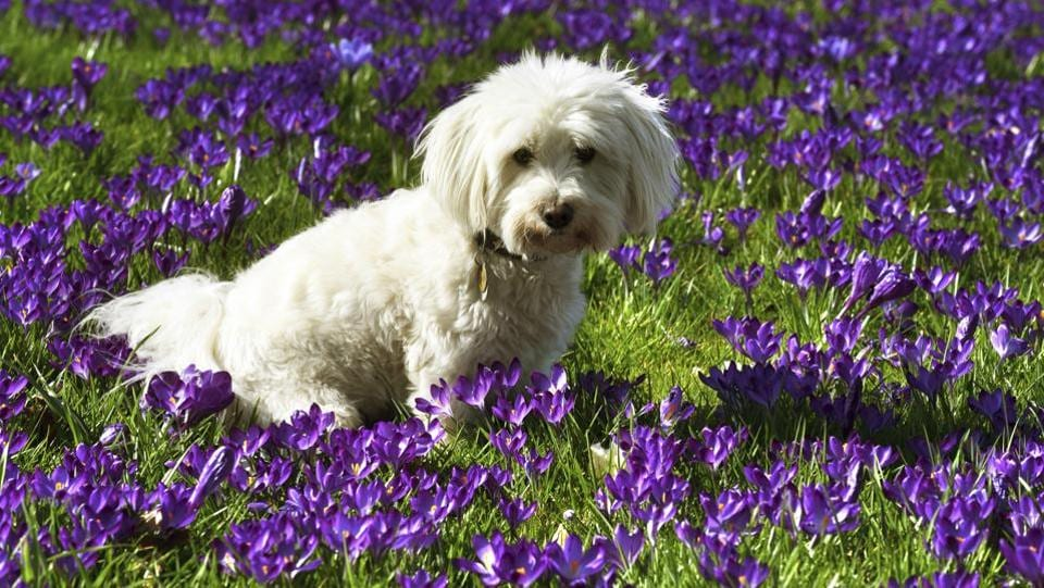 A little dog sits in a meadow with crocuses at the banks of river Rhine in Duesseldorf, Germany. (Horst Ossinger / AP)