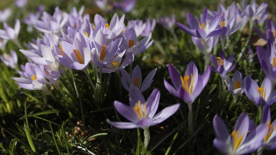 Crocuses bloom on a meadow in Munich, Germany. For these spring flowers temperature is not as important as sunshine to them opening. If it's cloudy, they will remain shut, but a splash of sun will bring them all wide open, and their interior is invariably more brightly coloured than the outside of their petals.  (Matthias Schrader / AP)