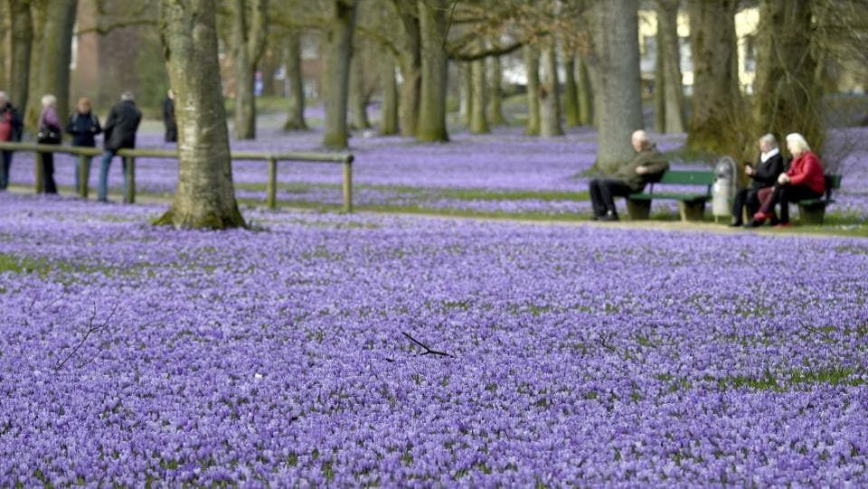 A sea of blossoming crocuses covers the castle grounds in Husum, northern Germany.  (Carsten Rehder / AP)