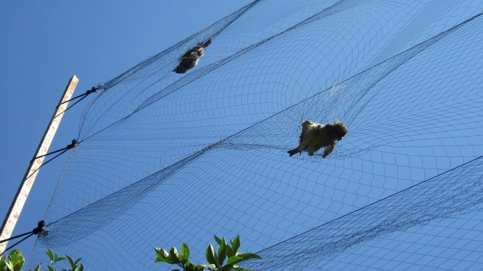 Birds are seen trapped in mist nets near the village of Ayios Theodoros in Larnaca, Cyprus, September 27, 2012.