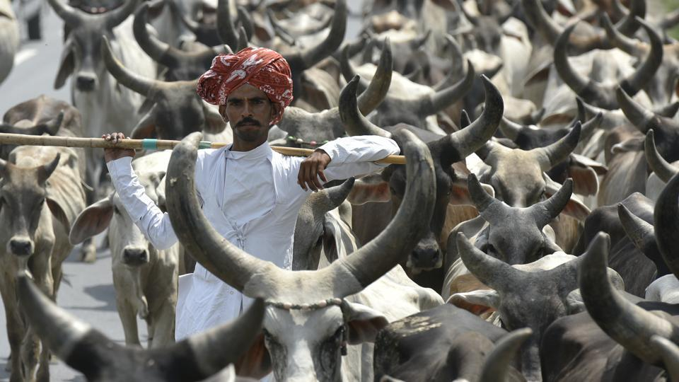 In 2011, when Narendra Modi was chief minister, the state government had imposed a complete ban on slaughtering and transportation of cow and progeny by amending the Gujarat Animal Preservation Act, 1954.