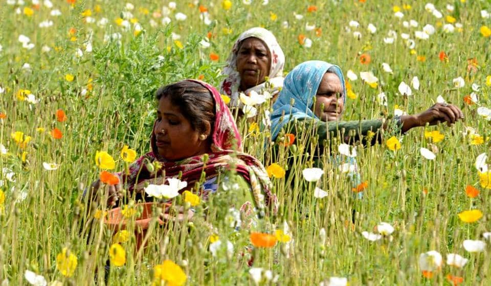 Labourers collecting seeds from blooming flowers in a field near Patiala on Saturday, March 18. (Bharat Bhushan/HT)