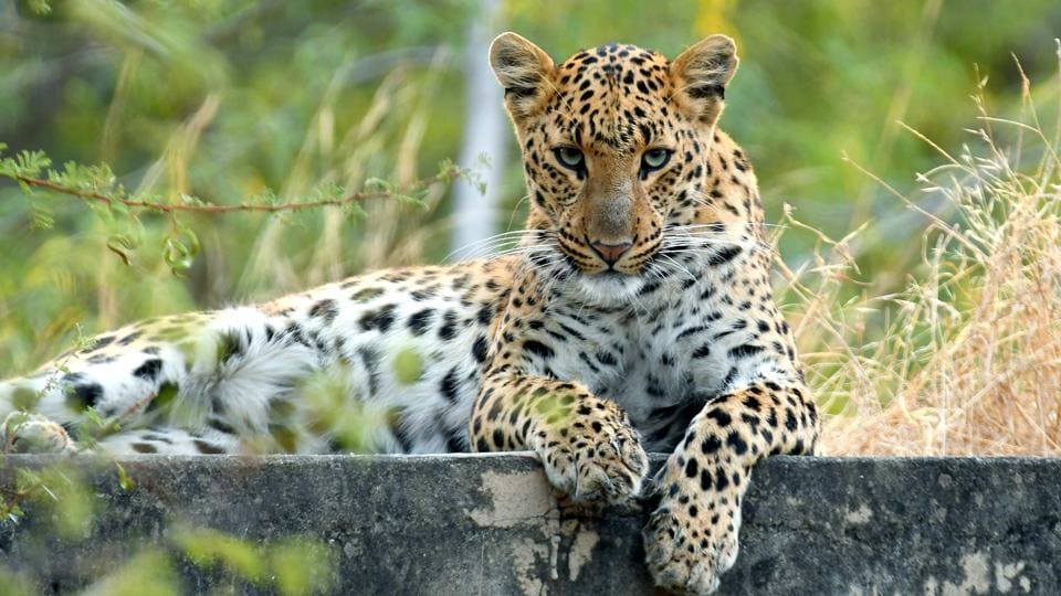 Leopard,Sariska Tiger Reserve,Alwar
