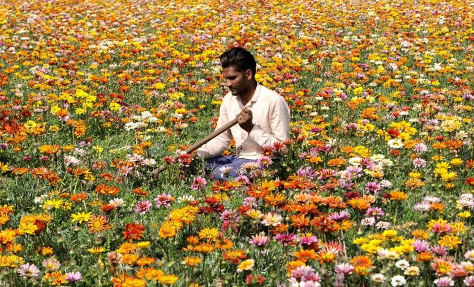 A labourer tending to flowers in a field near Patiala on Saturday, March 18. (Bharat Bhushan/HT)