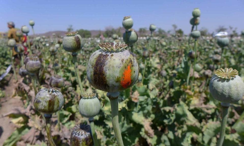 Rajasthan,Opium,Harvest