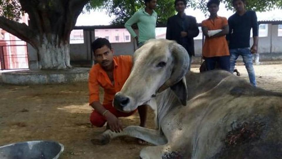 Man Mohammed is the lone Muslim volunteer at the Gorakhnath temple's cow shelter, which has around 500 bovines.