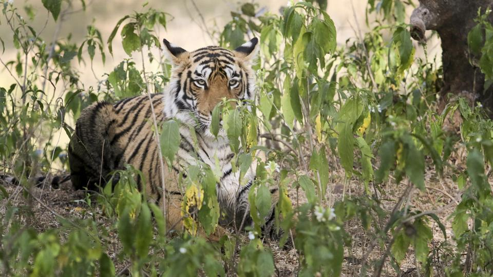 Ranthambore, which generated 62% of Rajasthan's wildlife tourism revenue, has its share of success and failure in equal parts. The park has protected animals inside the core area diligently, but failed to develop the periphery, key to accommodate the spillover population. (Himanshu Vyas/HT Photo)