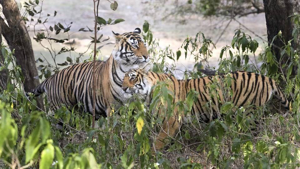 Tigress Arrowhead  (R) seen with male tiger (T91). Trespassing leads to fights for dominance, with the stronger tiger either retaining or gaining the region. Most of these battles in one of the oldest tiger homes of India involve young adults, roaring to dominate the richest prey base, the park's core area. (Himanshu Vyas/HT Photo)