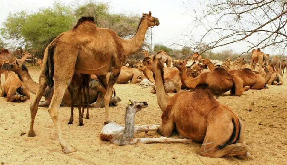 About 440 camel-rearers participated in the awareness camp held in Barmer.