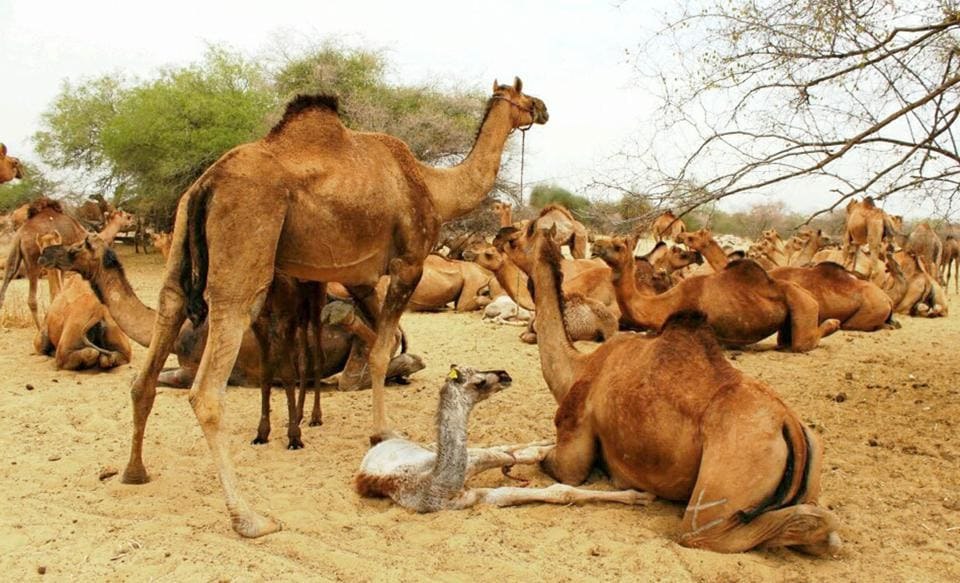 The camel population in Rajasthan, according to the research done by Lokhit Pashupalak Sangsthan, is now around 2.5 lakh. In 2012, the state had 3.25 lakh camels.