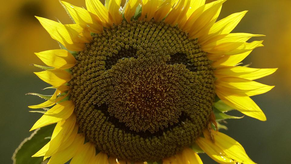 A smiley face is seen on a sunflower in a sunflower field in Lawrence, Kan. Over the past decade as income in the US has gone up, self-reported happiness levels have fallen fast, some of the biggest slides in the world.