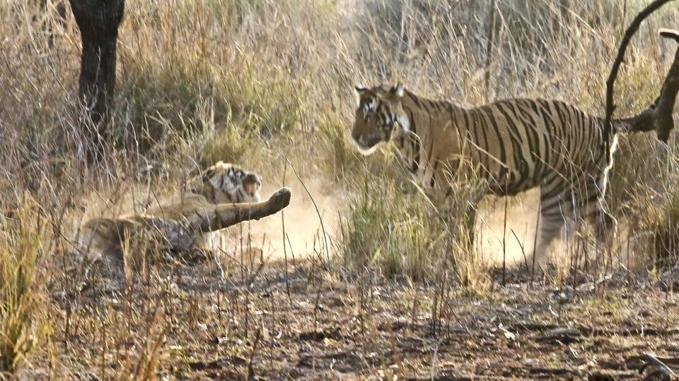 After a brief friendly encounter and subsequent parting, the male tiger (T91) is surprised as Young Tigress Arrowhead a.k.a T84 springs away from a posture resembling mating. The number increased to 60 in 2016, but the tiger habitat remained mostly unchanged — 1,411 square km. It is now the third most densely populated tiger home in India after Corbett in Uttarakhand and Kaziranga in Assam. (Himanshu Vyas/HT Photo)