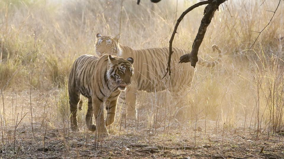 Forest officials said six tigers left Ranthambore between 2002 and 2013. Some went to as far as Kuno Palpur in Madhya Pradesh. Only one returned, while three of them were found dead later. (Himanshu Vyas/HT Photo)