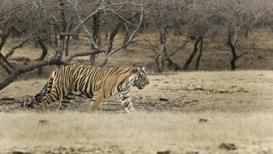 Sariska was a conservation nightmare as it was left with no tiger in 2005. But Ranthambore's tigers came to the rescue. A massive relocation effort has repopulated the barren park of its pride. (Himanshu Vyas/HT Photo)