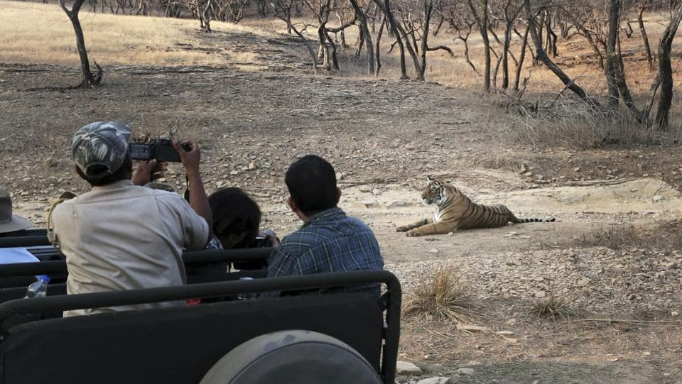 Oblivious of the silent tourists, Young Tigress Arrowhead looks back at a dejected male tiger (not in picture). Ranthambore National Park had about 18 tigers when it was declared a protected area for the big cats in 1973.  (Himanshu Vyas/HT Photo)