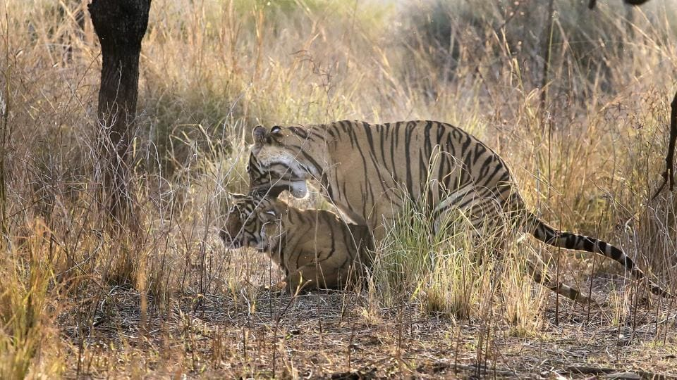 Forest authorities are aware of the dangers that lie ahead of each stray tiger outside the park. They are developing adjoining areas in Sawai Mansingh and Kailadevi with prey base and grasslands, apart from relocating villages near Ranthambore, to make space for the rising population. (Himanshu Vyas/HT Photo)