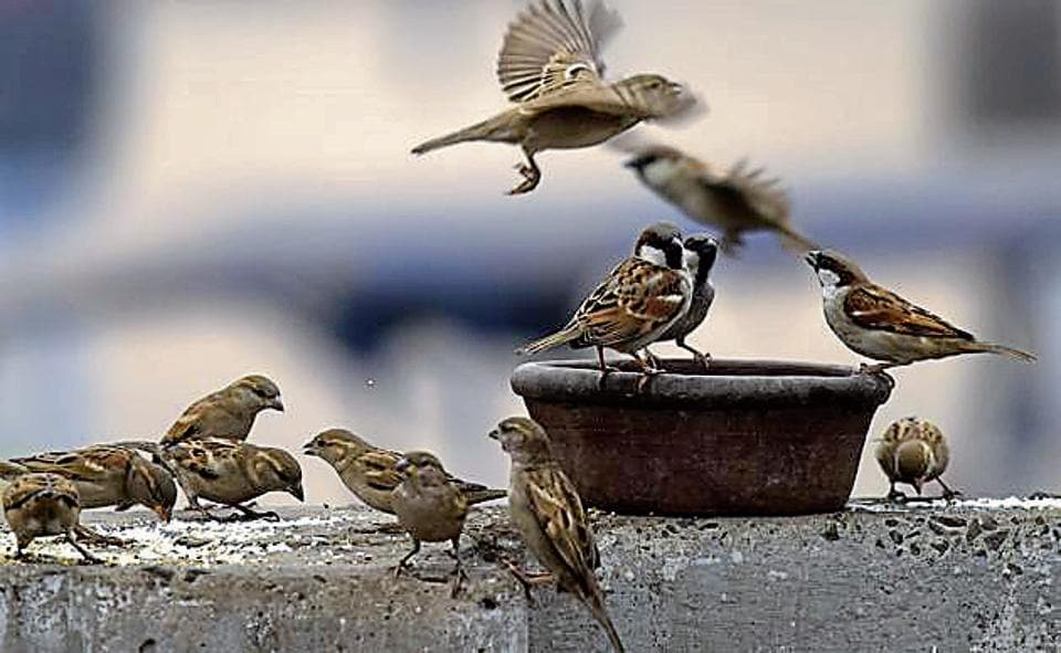 Rampant urbanisation, lack of nesting and feeding spaces, use of pesticides and even radiation from mobile towers are behind the dwindling numbers of this common bird species in metropolitan cities such as Delhi.