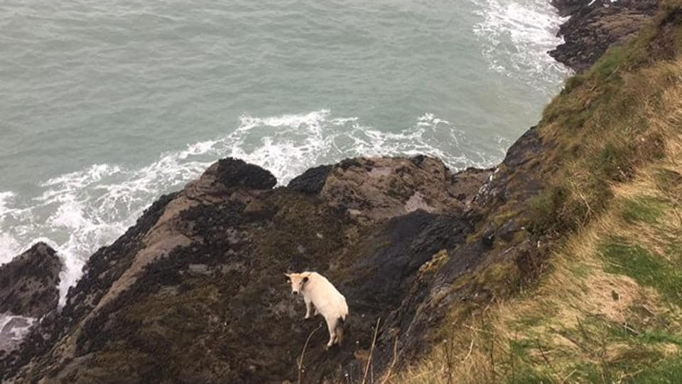 The pregnant cow was winched back up to the top of the cliff on Sunday evening after a nine-hour effort, the BBC reported.