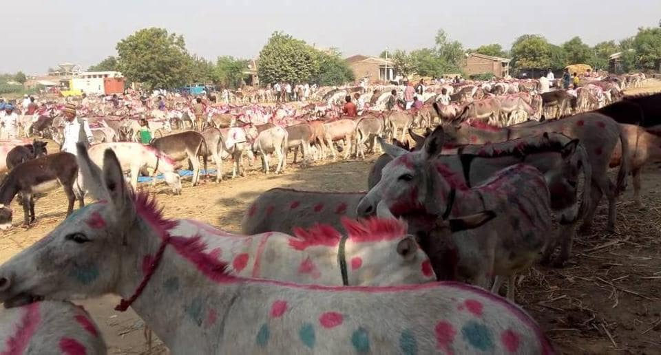Donkeys hit the headlines after former Uttar Pradesh chief minister Akhilesh Yadav's remarks about the animal during his election campaign.