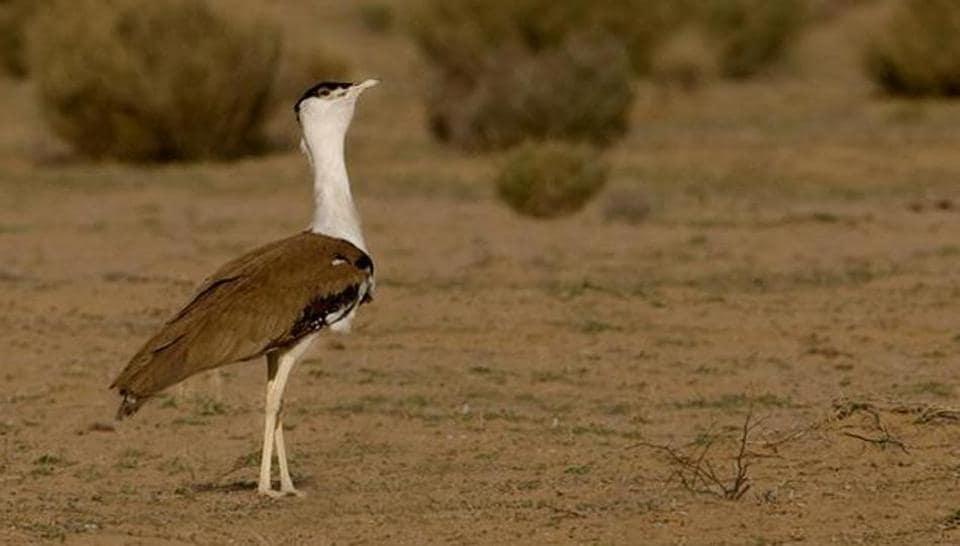 Great Indian Bustard is an endangered bird.