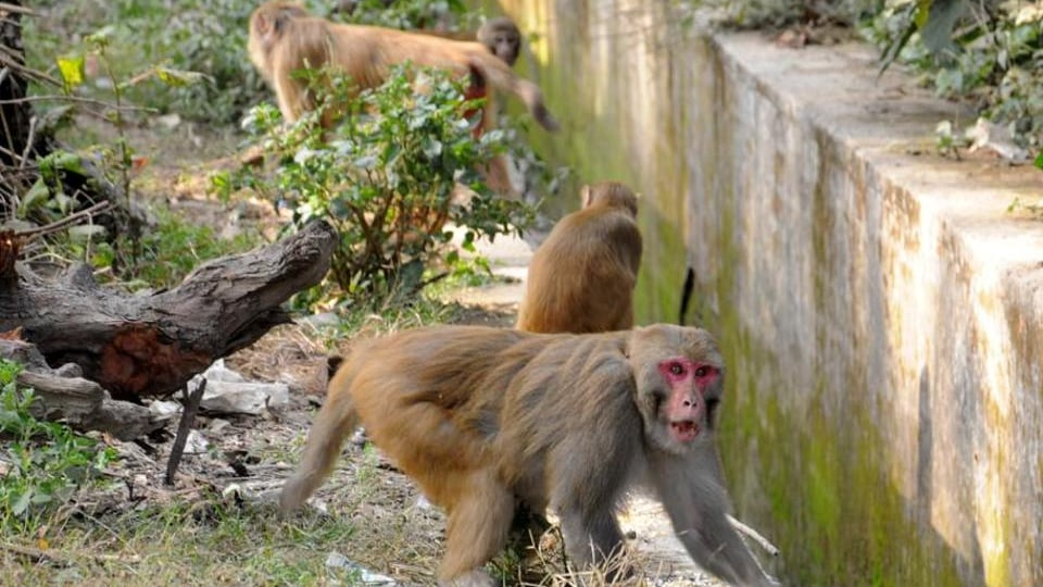 The MoEF notification extended permission for culling of monkeys till May 24 in relaxation of Section 62 of the Wildlife (Protection) Act, 1972.