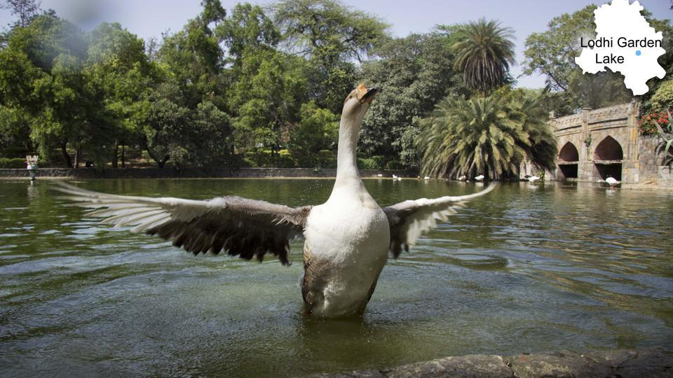 "A duck flutters inside the Lodhi Garden lake. Despite judicial orders, we see no progress,"" activist Diwan Singh, who is part of the Dwarka Water Bodies Committee, said. (Vageesh Lall/HT Photo)"