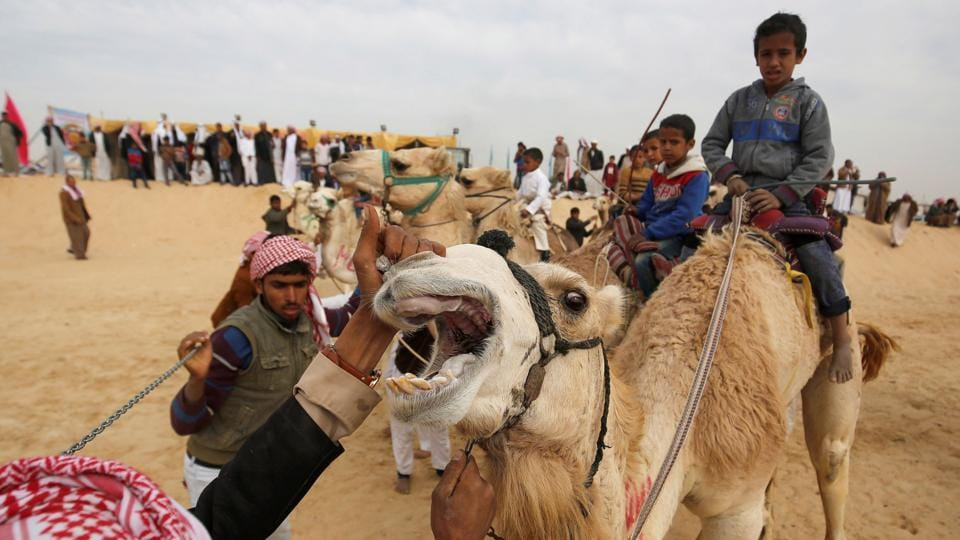 Race coordinators examine the camels of jockeys during the International Camel Racing festival. (Amr Abdallah Dalsh / Reuters)