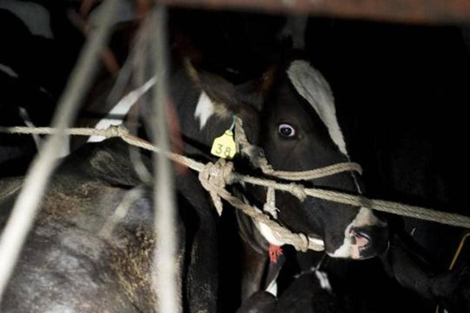 Cattle transport,Transit permit,Cow vigilantes
