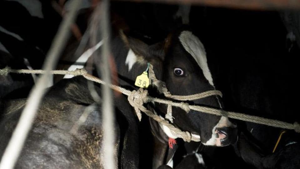 A picture from 2015 in which a cow was seen inside a truck  in Taranagar in Rajasthan.