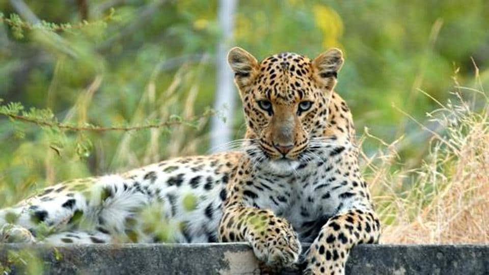 Man-Animal conflict,Mother saves son from leopard,North Mumbai